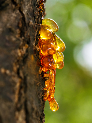 answer_detail_thumb_treesap_shutterstock_120788779.jpg