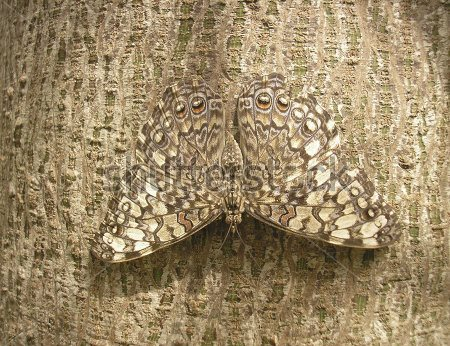 stock-photo-camouflage-of-a-butterfly-on-the-bark-of-a-tree-65300566.jpg