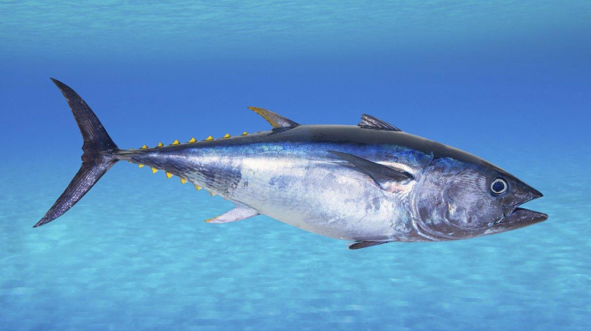 Bluefin Tuna.jpg
