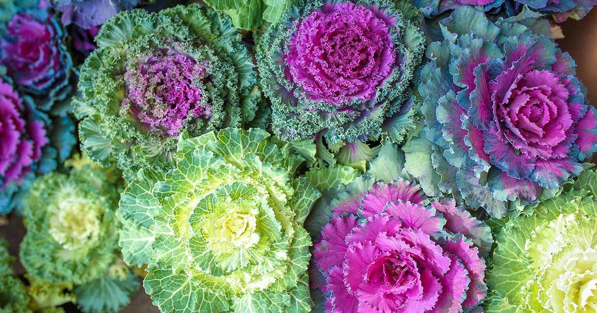 Ornamental Kale.jpg